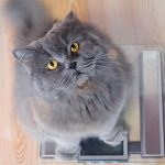 Gray big long haired british cat
